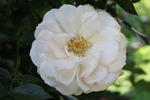 Weiße Rose