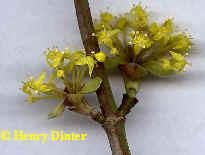 Kornelkirsche - gelber Hartriegel - Cornus mas_1