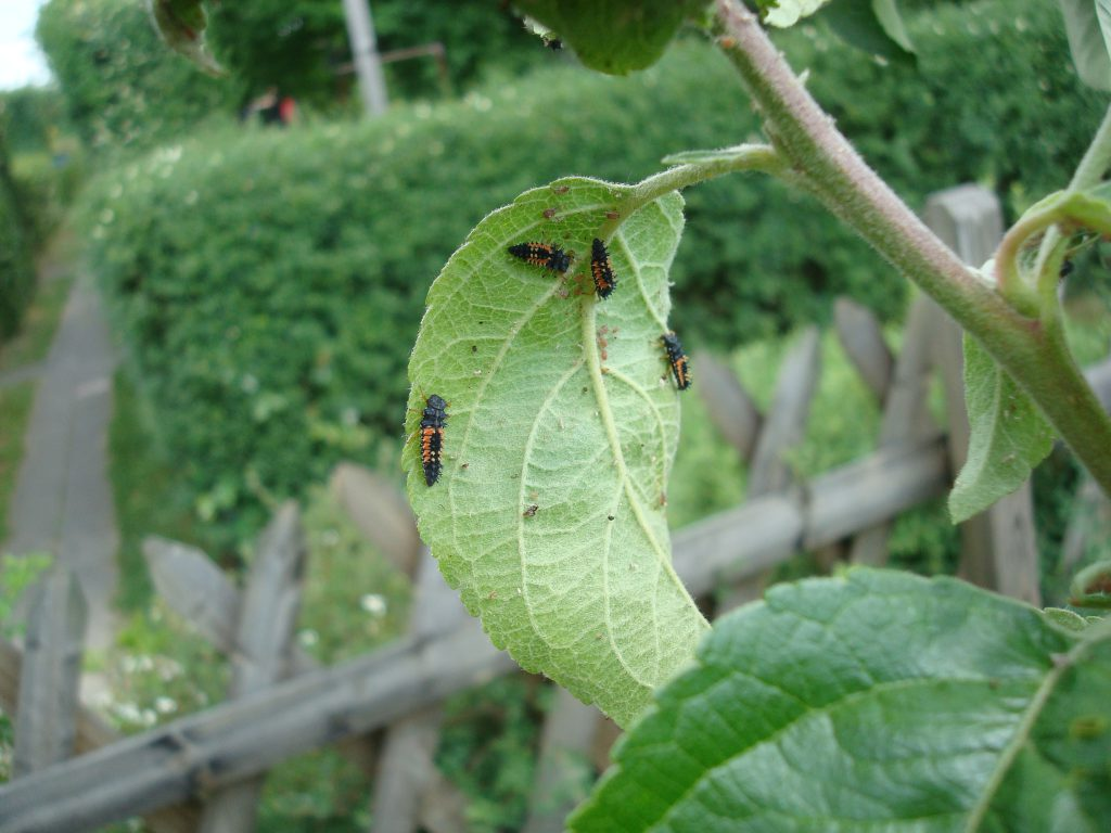 blattl use aphidoidea kleingartenkolonie gr ne aue e v. Black Bedroom Furniture Sets. Home Design Ideas