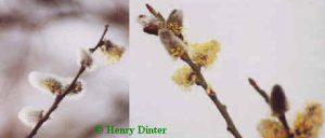 Sal-Weide - Palm-Weide - Salix caprea