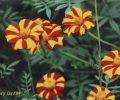 Die Tagetes (Studentenblumen)
