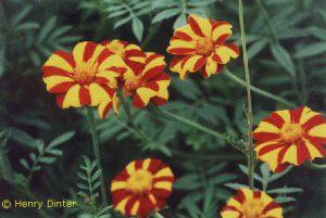 Tagetes - Studentenblume