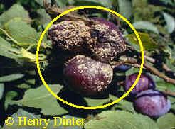 fruchtfaeule-plaume
