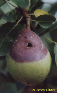 fruchtfaeule_birne
