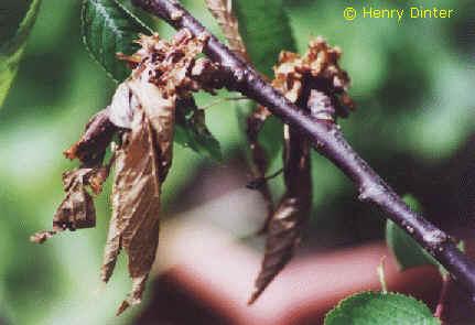 Monilia Spitzendürre – monilia laxa – monilia fructigena