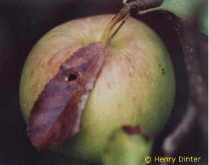 Angesponnene Blätter kleben auf den Früchten fest, die von graugrünen Raupen angefressen werden.